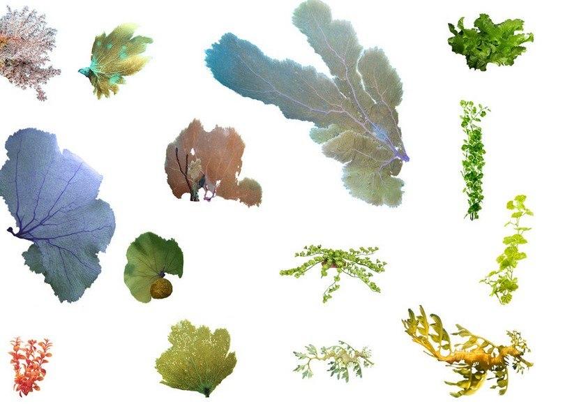 海藻通常固著于海底或某种固体结构上,是基础细胞所构成的单株或一长